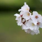 天ヶ城公園の桜祭りはいつから?花見で貸出可能なバーベキューセット