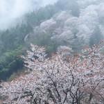 吉野山の桜の見ごろは?混雑にあわない方法とは