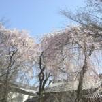 醍醐寺の花見の混雑具合は?花見時期と評判
