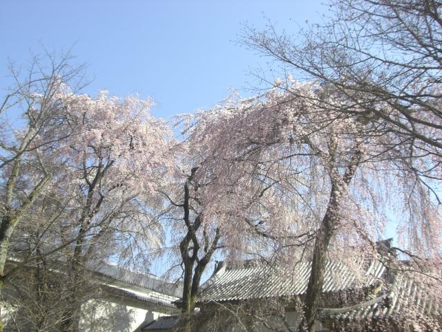 醍醐寺 桜