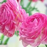 母の日のプレゼントの花/鮮やかなあまてらすラナンキュラス